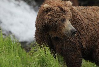 Brunbjörn i Alaska foto Julie Dodds