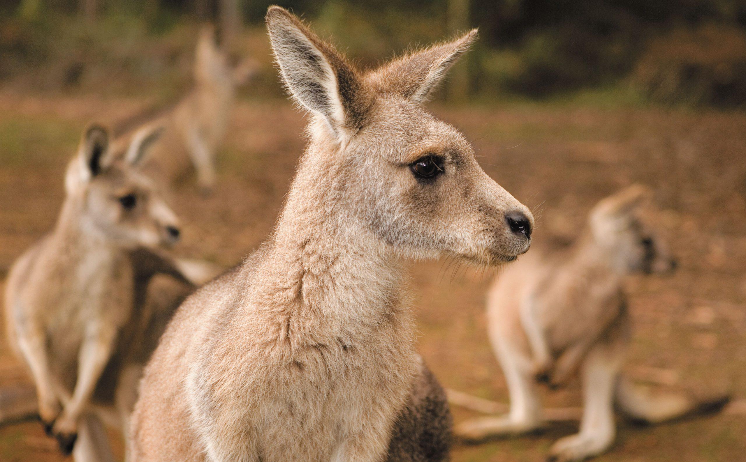 Kängurus i Australien