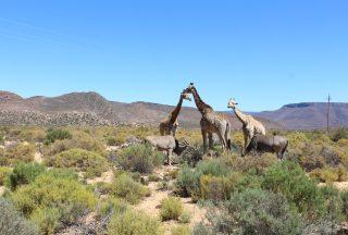 Vilda djur på savannen utanför Kapstaden
