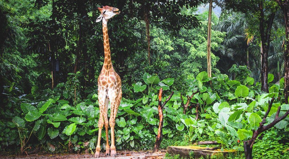 Giraff i Amazonas djungel