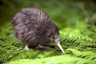 Kiwifågel på Nya Zeeland