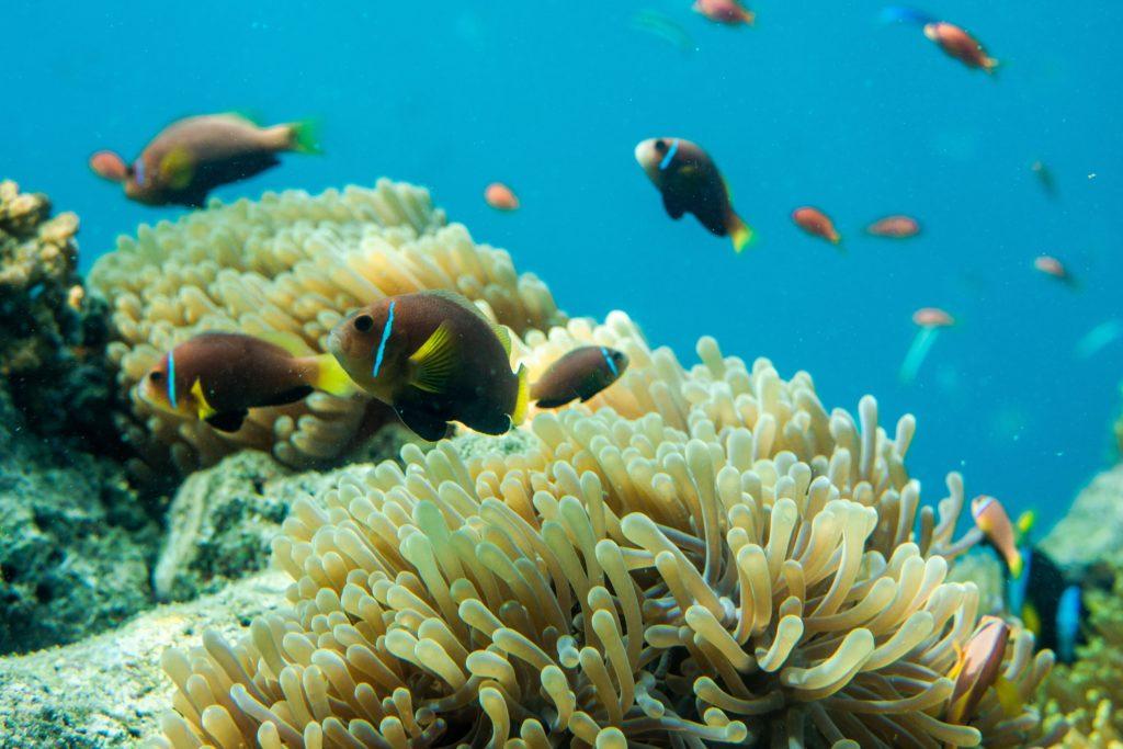 Koraller och fiskar i havet utanför Maldiverna