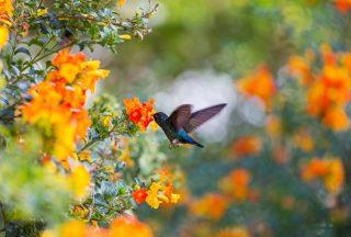 Färgglad kolibri i Costa Rica Centralamerika