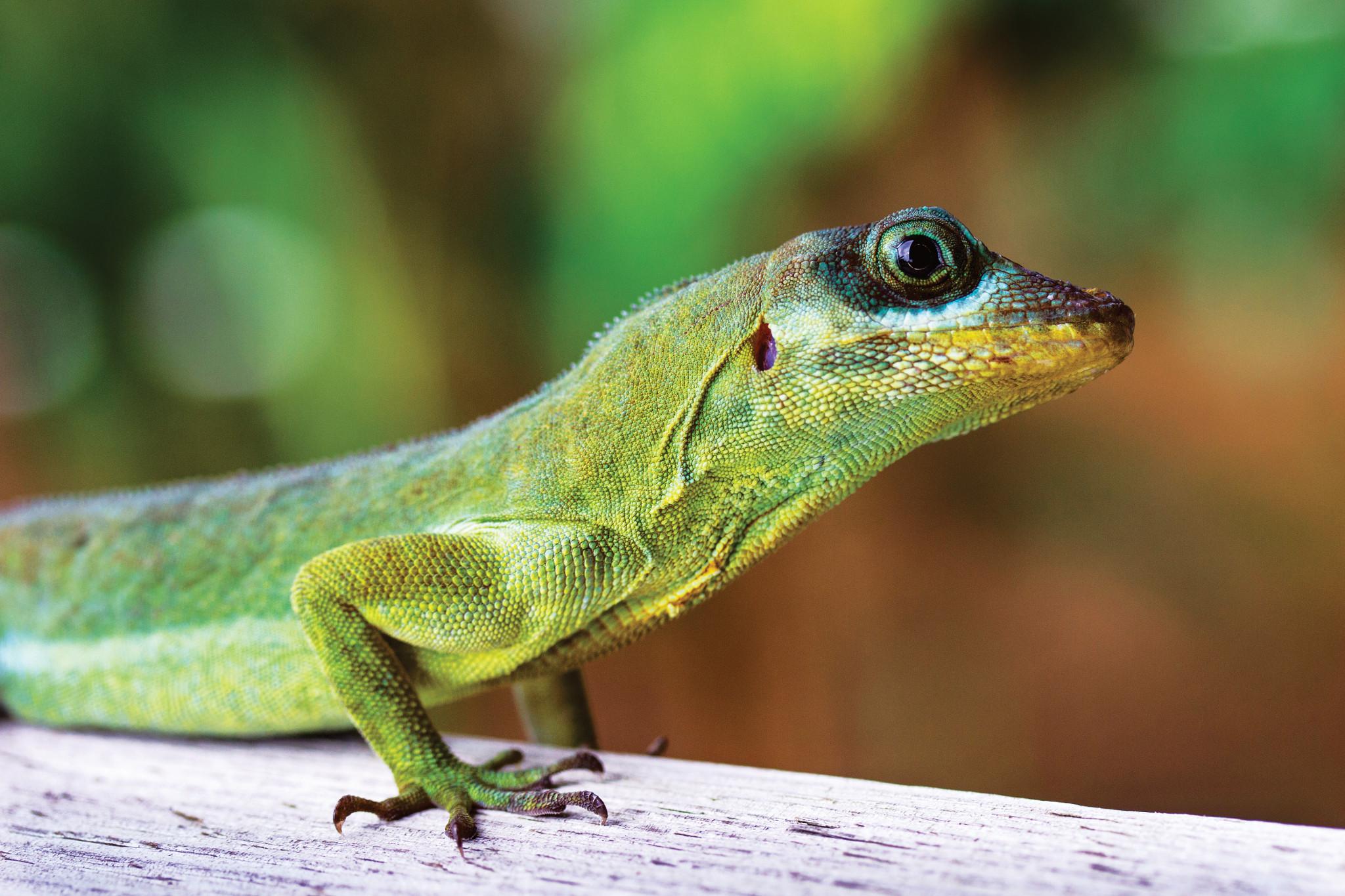 Naturliv runt panama, grön ödla