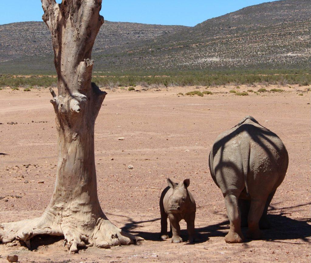 Noshörningar på savannen utanför Kapstaden