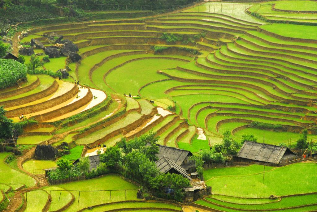 Gröna risfält i Vietnam