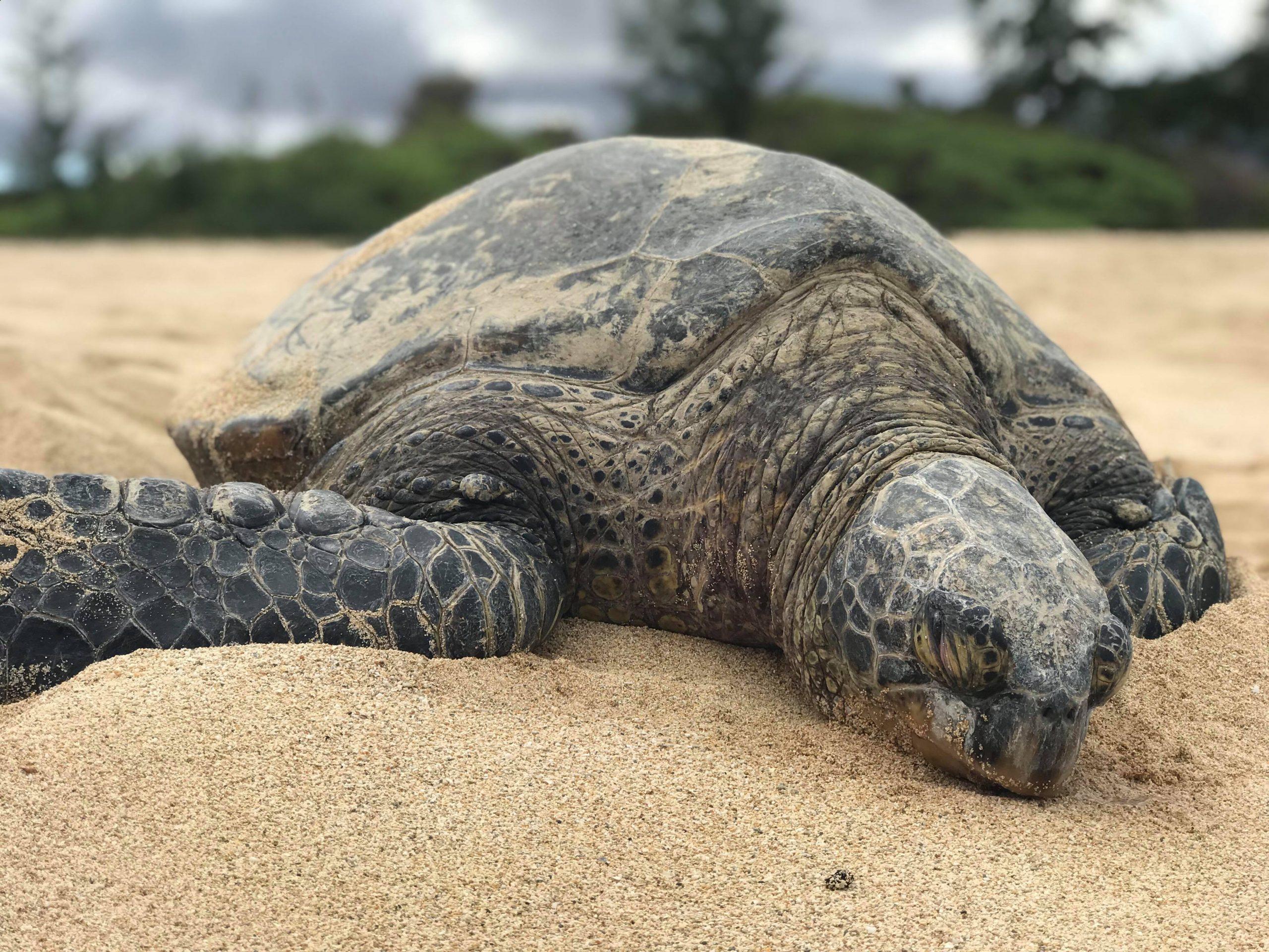 Stor sköldpadda som vilar på stranden i Hawaii