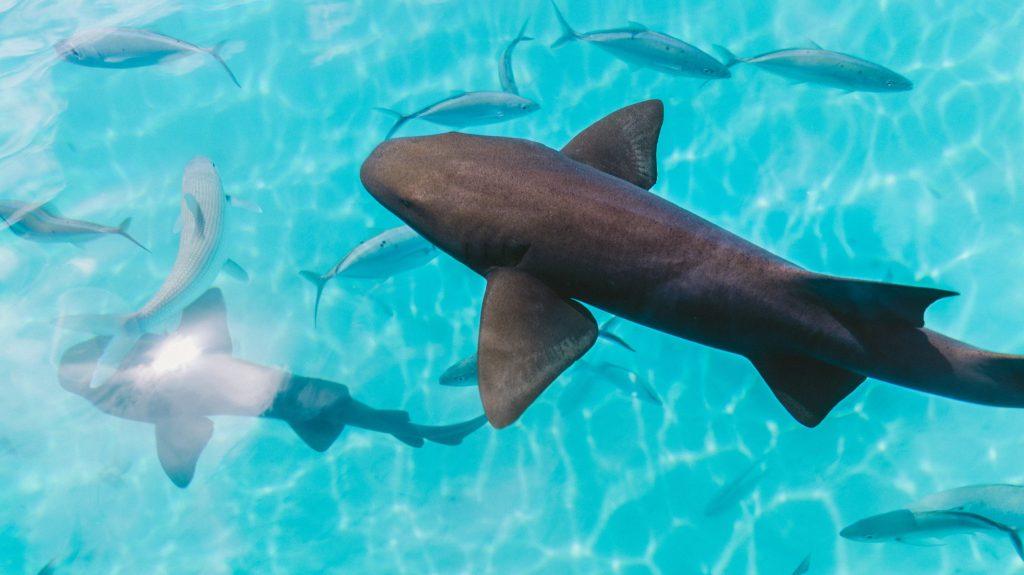 hajar som simmar i Tahitis blåa vatten