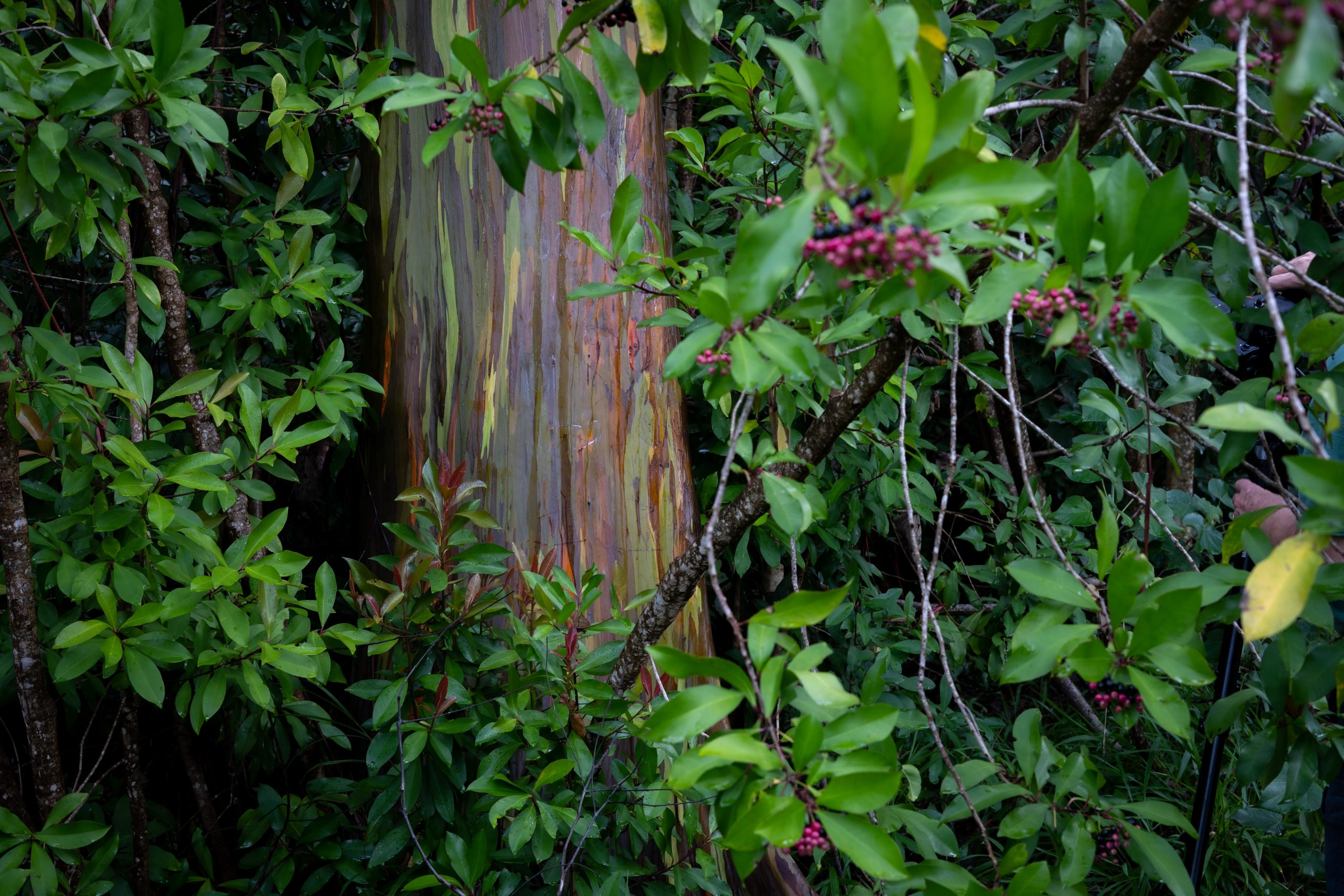 växter och tropiska träd på ön maui