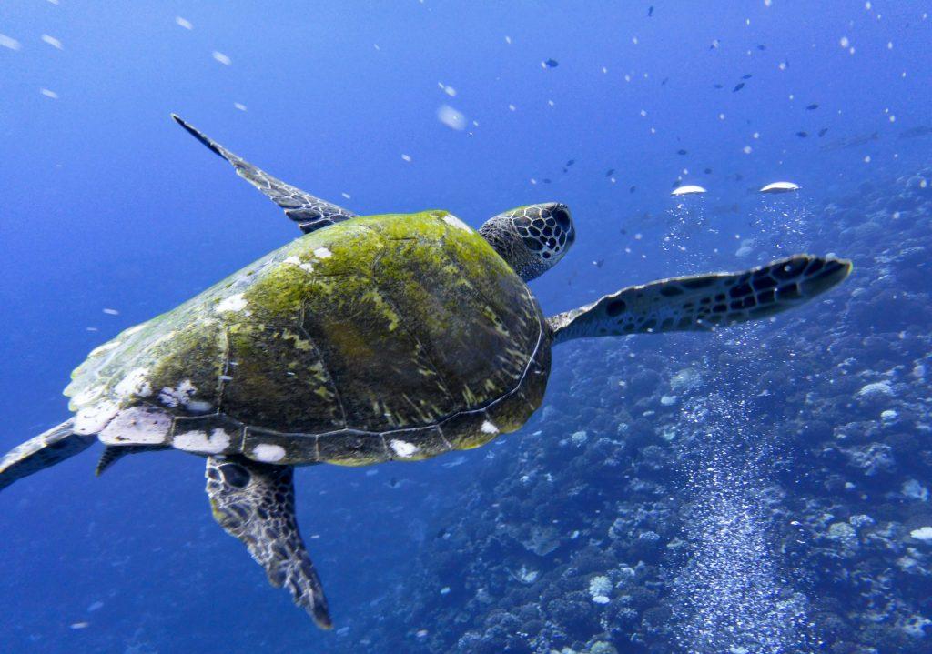Sköldpadda Raiatea