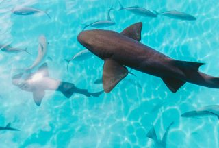 Tahiti-shark