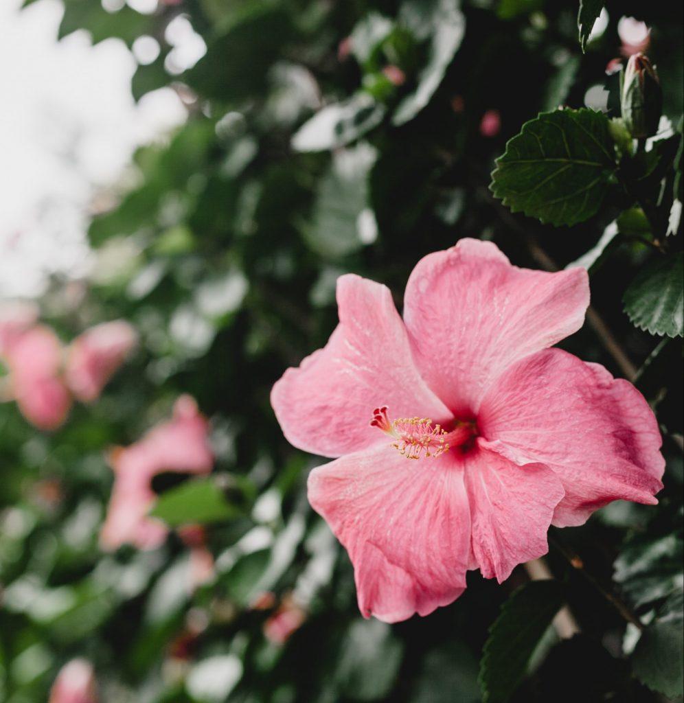 Rosa blomma på Maui ön i Hawaii