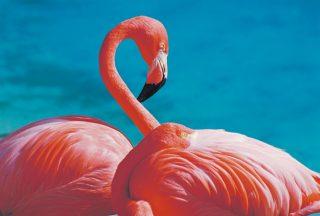 Rosa flamingos på Aruba Karibien