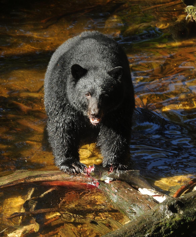 Bild på en björn i Bear Country, Alaska