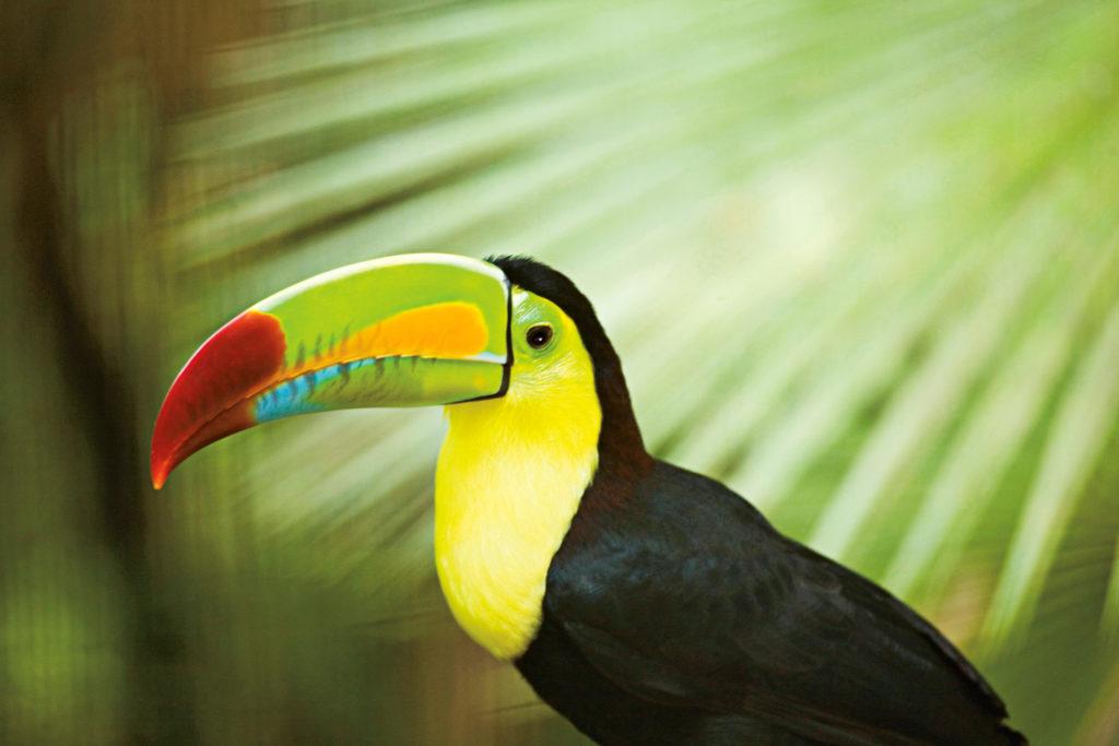 Keel-billed toucan (Ramphastos sulfuratus), side view