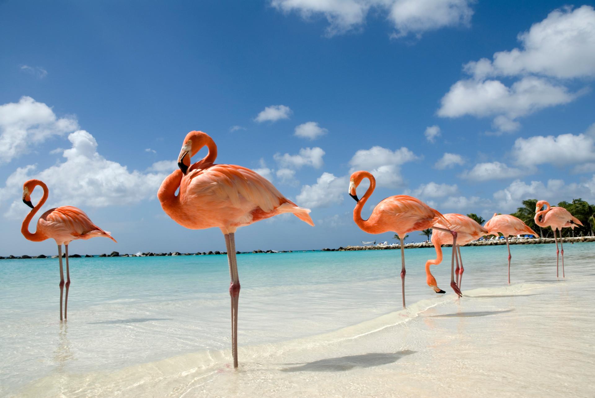 Rosa flamingos på Aruba