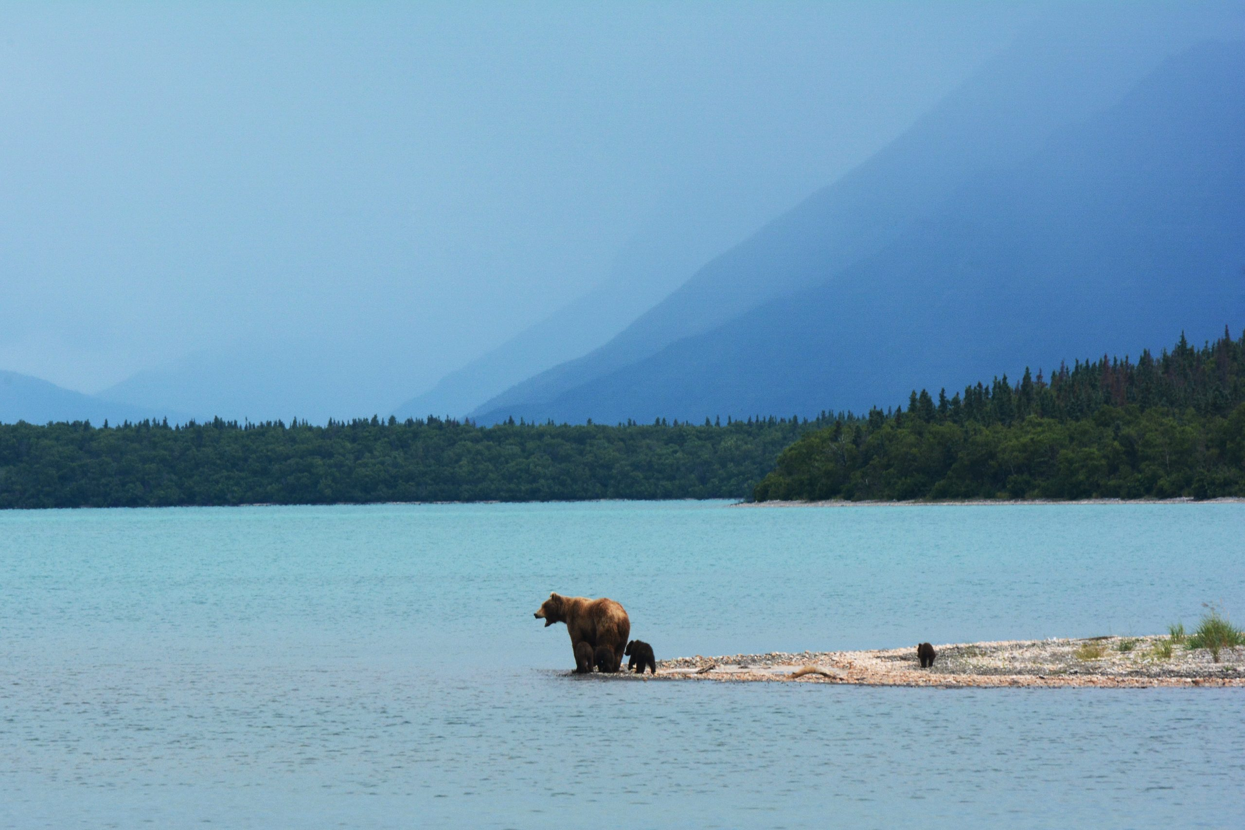 Björnfamilj i Alaska