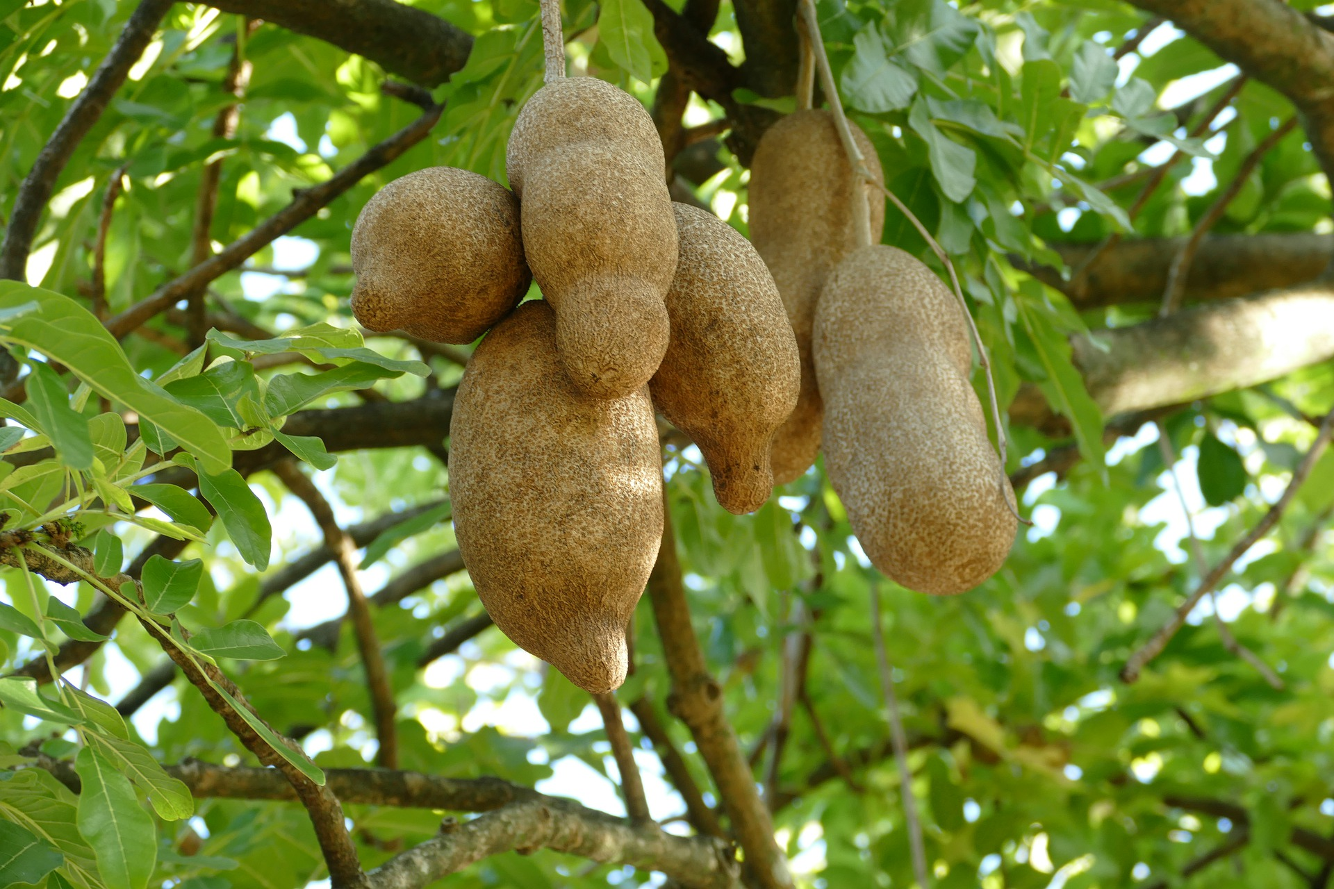 dominica fruit