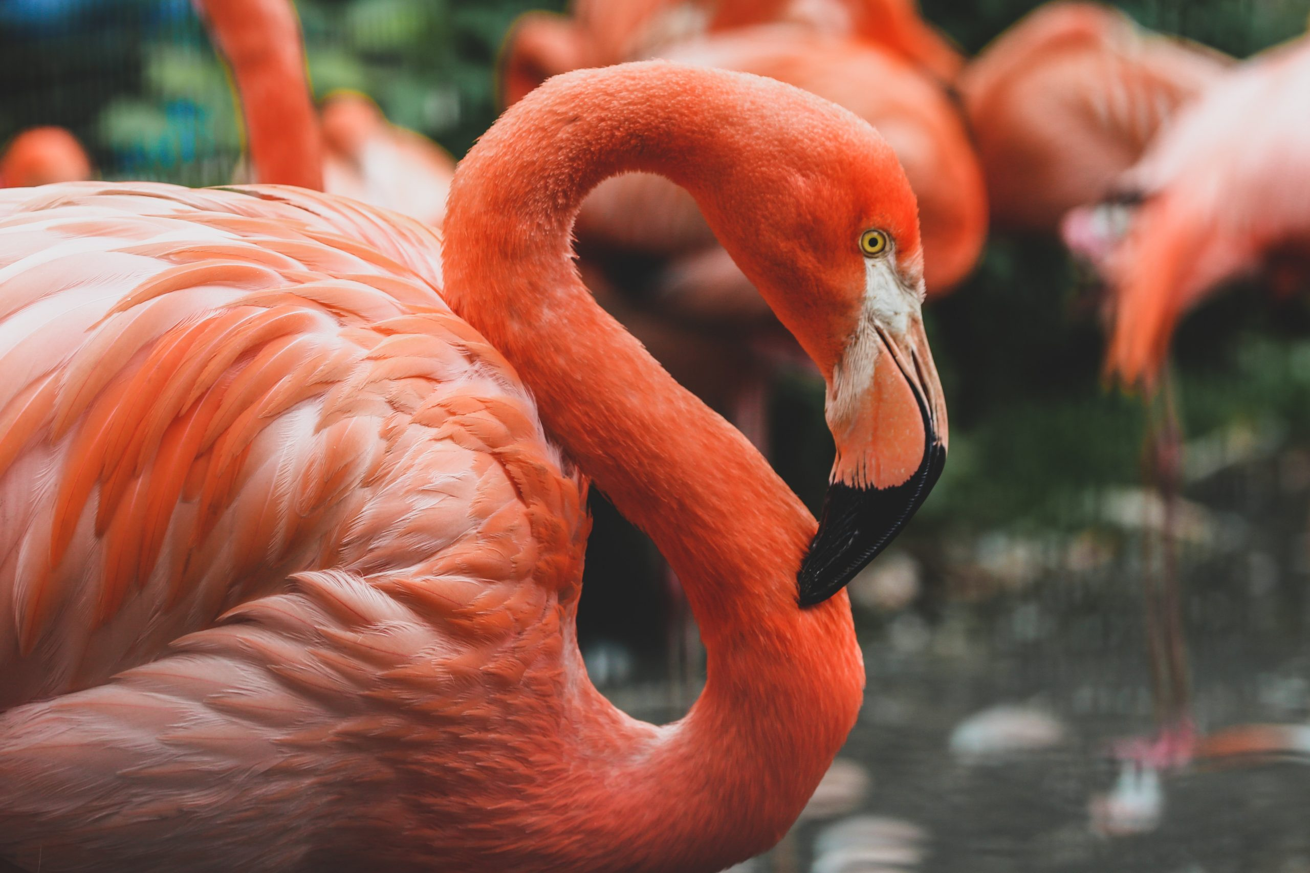 Flamingos på Bonaire