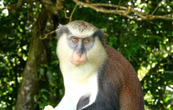 i trädets krona i Grenada sitter en apa Karibien