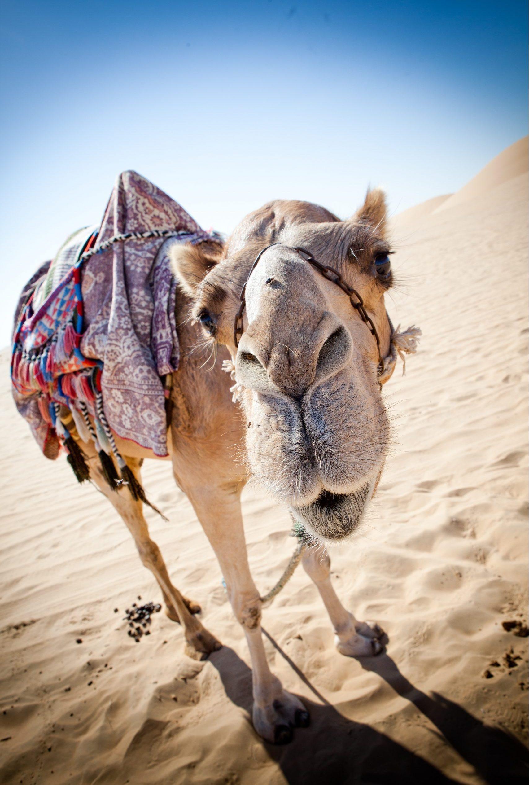 Närgången kamel i Dubai