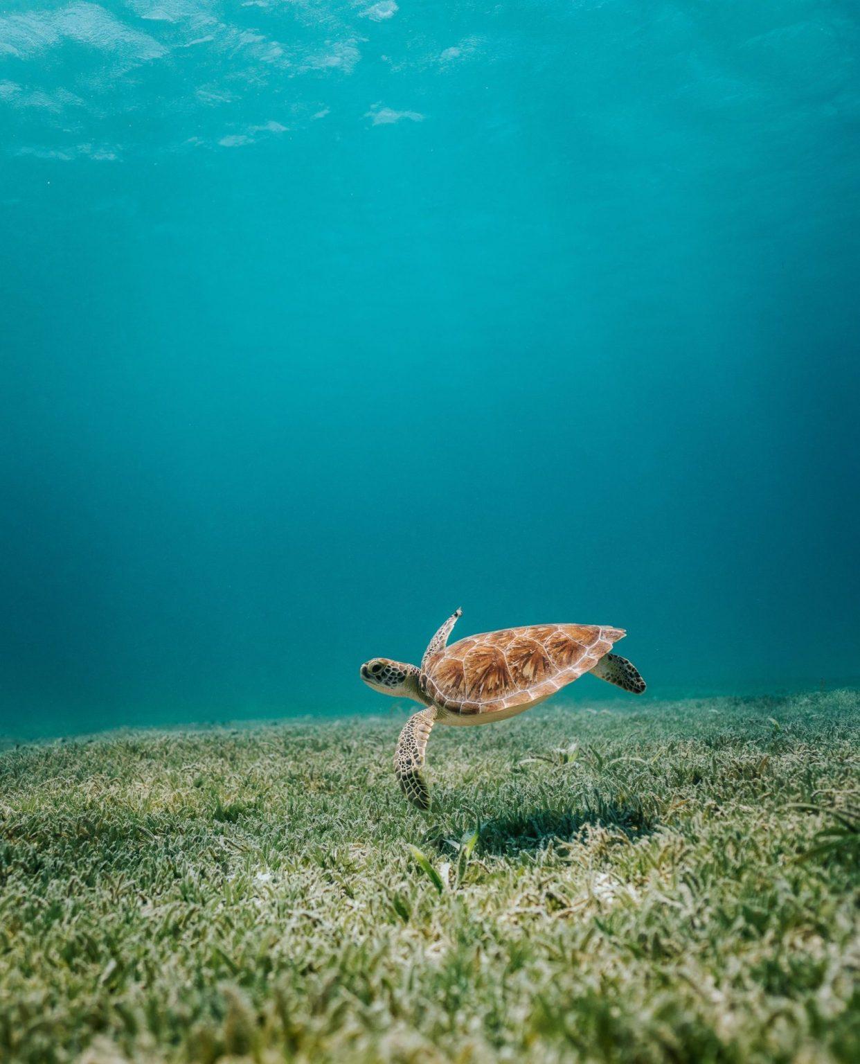Liten sköldpadda i havet utanför Aruba