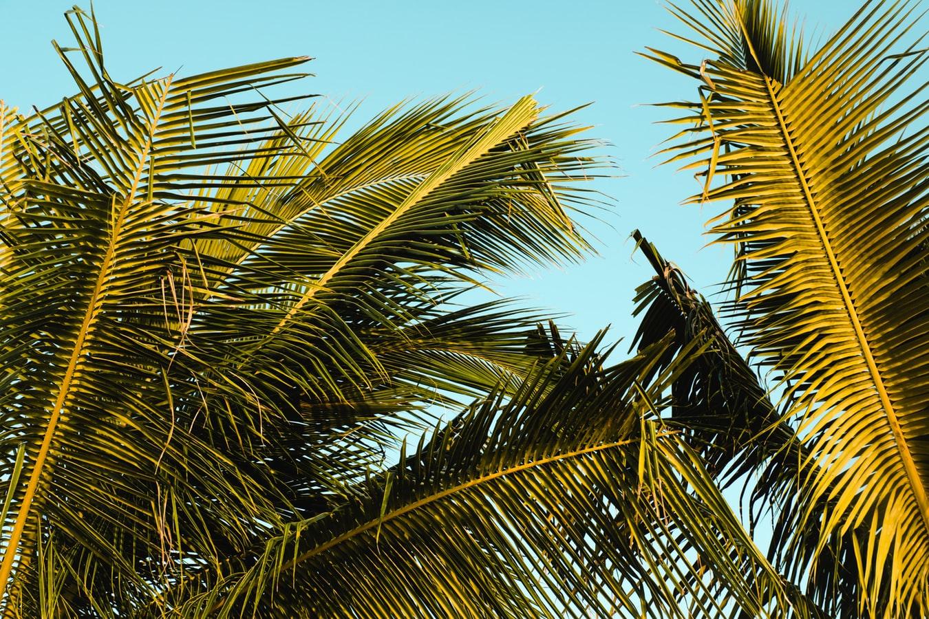 Vajande palmblad på Jamaica