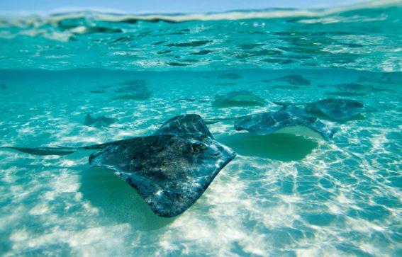 Sothern Stingrays stingrocka som simmar utanför Grand Cayman i Karibien