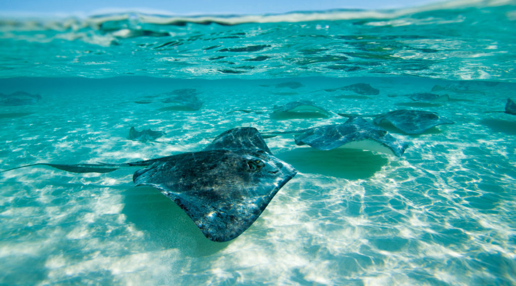 Sothern Stingrays stingrocka som simmar utanför Grand Cayman