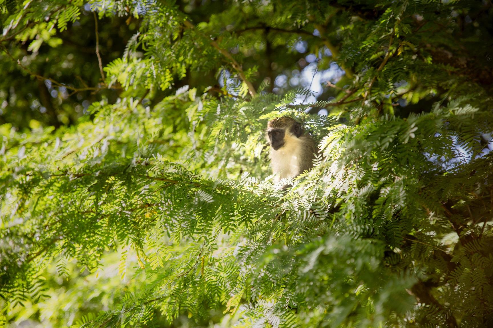 En apa i trädet i Barbados vackra natur