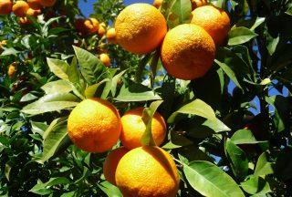 Apelsiner i Sevilla, Spanien
