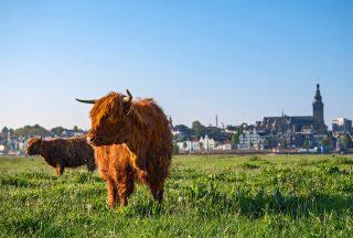 Kor på bete i Nijmegen