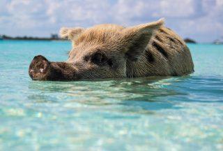 Bahamas-pig.jpg