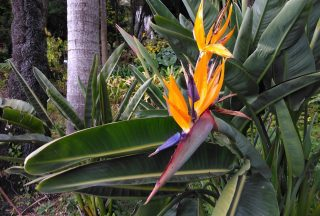 Blomma på Funchal